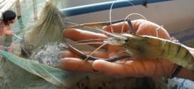 freshwater-prawn-training