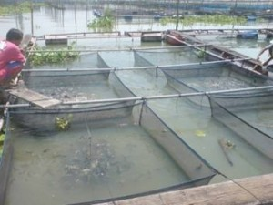 skip-feeding in tilapia farming