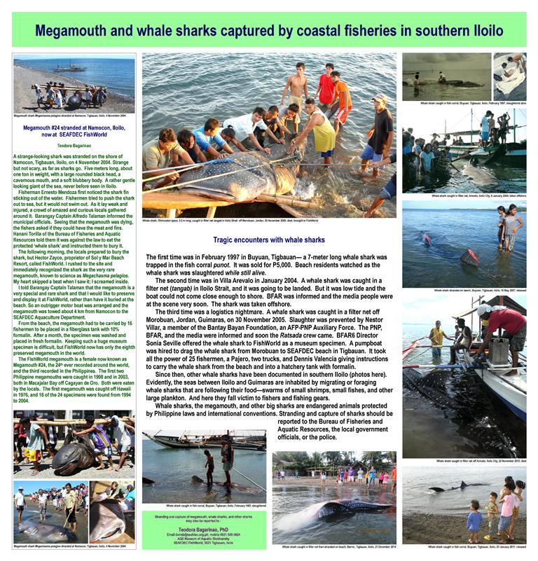 Poster Bagarinao Megamouth, whale sharks 46 in x 48 in