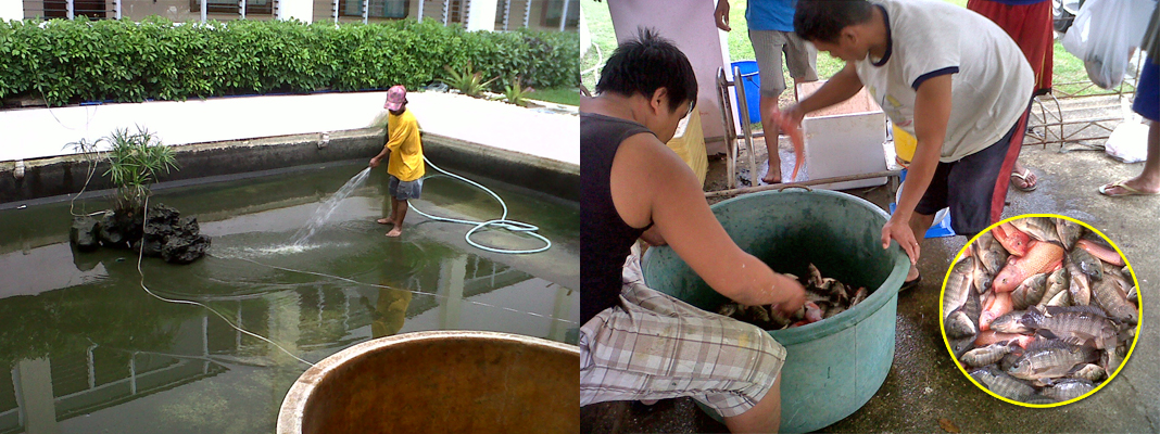 Tilapia Harvest At Afd Seafdec Philippines