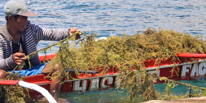 A seaweed farmer at Lambangan, Philippines