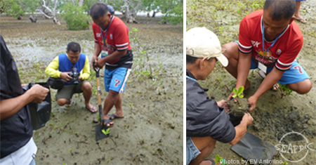 Trainees learn proper outplanting (left) and bagging of mangrove seedlings