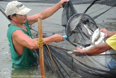 seabass harvest_web