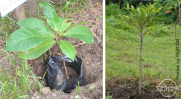 Talisay (left) and chico (right) seedlings are among the trees planted during AQD's previous anniversaries