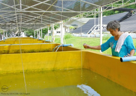 Ms. Reyes feeds milkfish larvae