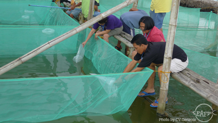 Training participants stock crab instar in nursery ponds at SEAFDEC/AQD's Dumangas Brackishwater Station in Iloilo