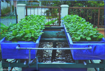 A backyard aquaponics system