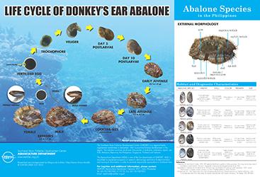 abalone life cycle poster thumbnail