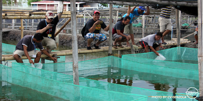 Trainees stocking crab instars to net cages at DBS