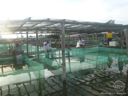The trainees acclimate and release crab instars in hapa nets