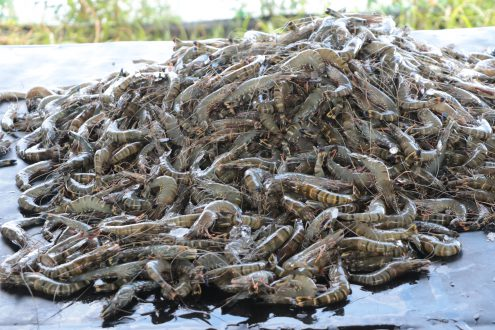 Tiger shrimp, locally known as sugpo or lukon, recently harvested from the Dumangas Brackishwater Station of the Southeast Asian Fisheries Development Center in a culture run that yielded almost three tons from a half-hectare pond.