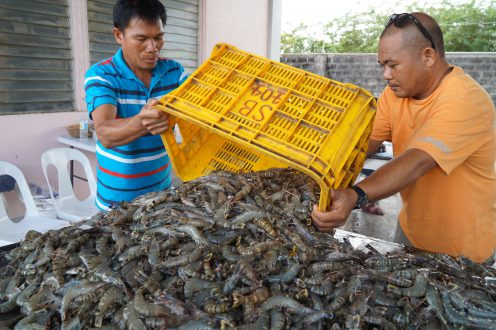 Tiger shrimp, locally known as sugpo or lukon, are poured out for sorting at the Dumangas Brackishwater Station of the Southeast Asian Fisheries Development Center after a recent harvest that yielded almost three tons from a half-hectare pond.