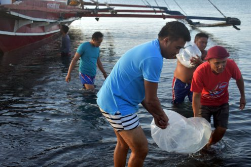 Large milkfish from Guimaras are individually transported in oxygenated plastic bags to Iloilo for conditioning at the Southeast Asian Fisheries Development Center to become milkfish breeders.