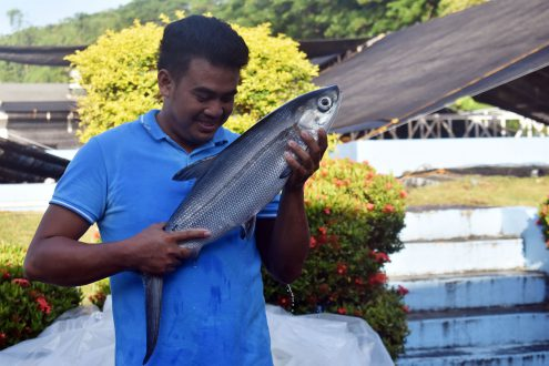 A milkfish sedated upon arrival at SEAFDEC's broodstock facility prior to weighing, one of 49 recently acquired for conditioning to become breeders